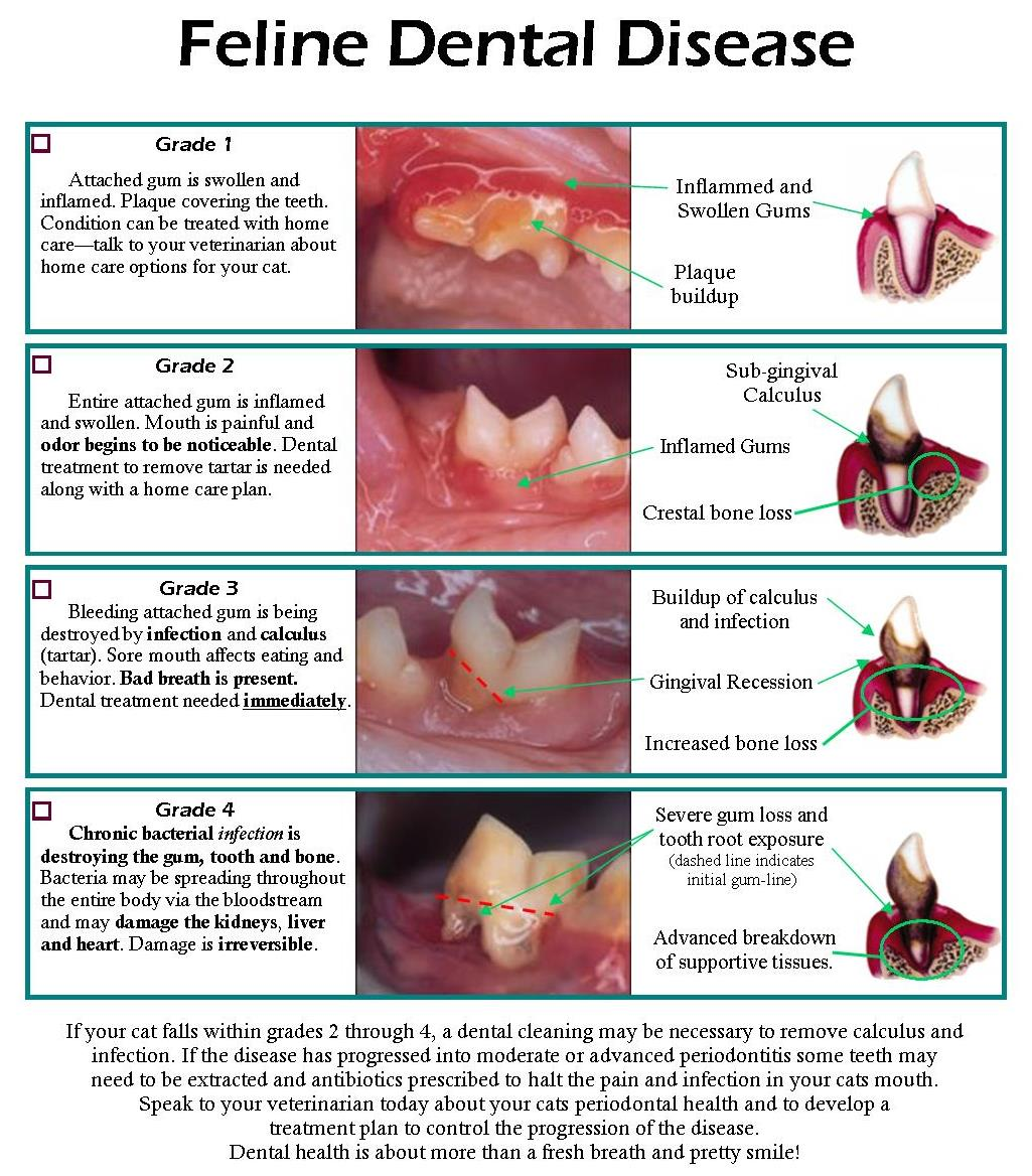 Dont ignore the signs of dental disease in cats dental disease in cats nvjuhfo Choice Image